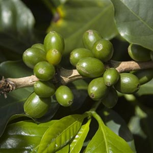 Кофе в зернах МОНСУНД МАЛАБАР - Индия  (0,5 кг.)